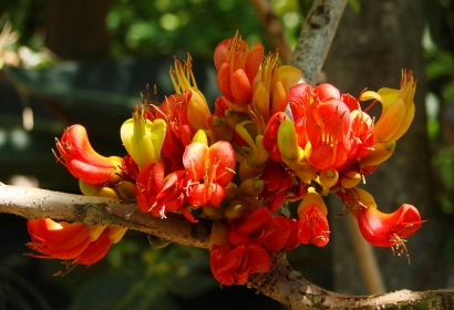 Châtaigner d'Australie (Castanospernum australe) - Jardin botanique Val Rahmeh-Menton © MNHN - Christophe Joulin