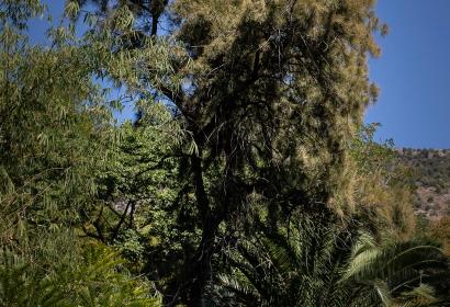 Filao (Casuarina equisetifolia) - Jardin botanique Val Rahmeh-Menton © MNHN - Agnès Iatzoura