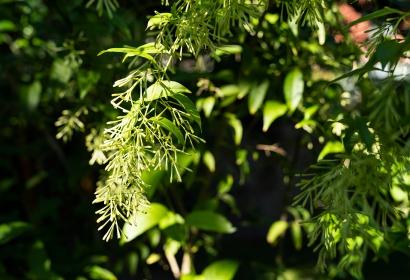 Jasmin de nuit (Cestrum nocturnum) - Jardin botanique Val Rahmeh-Menton © MNHN - Agnès Iatzoura