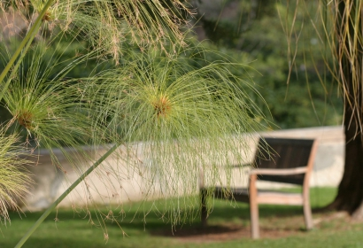Papyrus (Cyperus papyrus) - Jardin botanique Val Rahmeh-Menton © MNHN - Christophe Joulin