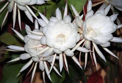 Belle de nuit (Epiphyllum oxypetalum) - Jardin botanique Val Rahmeh-Menton © MNHN - Christophe Joulin