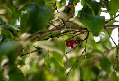 Cerisier de Cayenne (Eugenia uniflora) - Jardin botanique Val Rahmeh-Menton © MNHN - Agnès Iatzoura