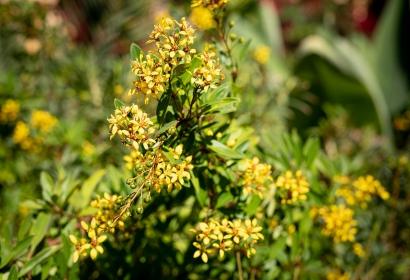 Galphimie glauque (Galphimia glauca) - Jardin botanique Val Rahmeh-Menton © MNHN - Agnès Iatzoura