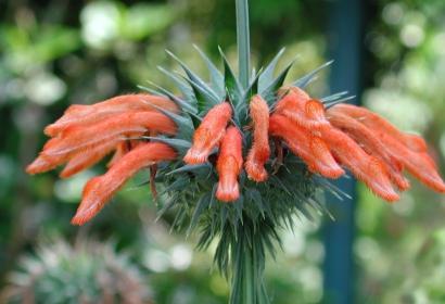 Oreille de lion (Leonotis nepetifolia) - Jardin botanique Val Rahmeh-Menton © MNHN - Christophe Joulin