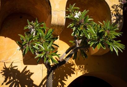 Palmier de Madagascar (Pachypodium lamerei) - Jardin botanique Val Rahmeh-Menton © MNHN - Agnès Iatzoura