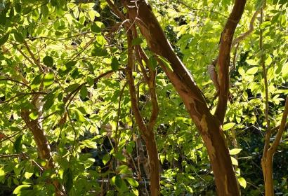 Goyavier de Chine (Psidium cattleianum) - Jardin botanique Val Rahmeh-Menton © MNHN - Agnès Iatzoura