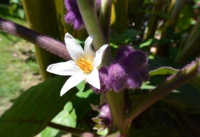 Morelle de Quito (Solanum quitoense) - Jardin botanique Val Rahmeh-Menton © MNHN - Christophe Joulin