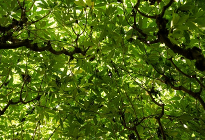Arbre au poivre (Vitex agnus-castus) - Jardin botanique Val Rahmeh-Menton © MNHN - Agnès Iatzoura
